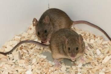 Ученые выяснили, что мачо среди мышей пахнут лучше сородичей