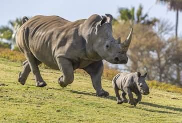 Детеныш вымирающего вида носорогов родится от умершего самца