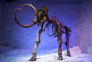 В Якутии найден обработанный древними людьми бивень мамонта