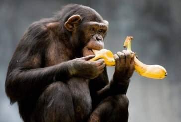 Шимпанзе впервые застали за поеданием пресноводных крабов