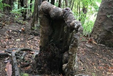 В Новой Зеландии пень для поддержания жизни высасывает ресурсы из здоровых деревьев