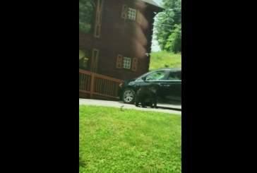 Видео: в Теннесси медведь открыл двери фургона «как человек»