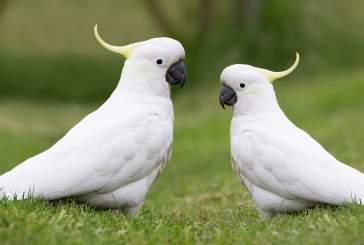 Попугай какаду может самостоятельно придумывать новые танцевальные движения