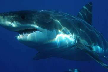 Палеонтологи нашли предка белой акулы с помощью анализа ее зубов