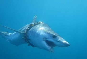 Десятки акул и скатов ежегодно запутываются в пластиковом мусоре