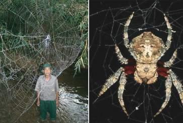 Генетики раскрыли секрет паука, плетущего самую прочную паутину в мире