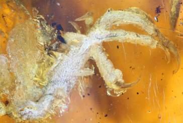 В древнем янтаре обнаружили лапу необычной вымершей птицы
