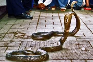 Индиец обнаружил внутри своей обуви детеныша кобры