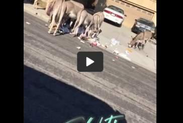 Видео: дикие ослы устроили беспорядок в окрестностях Калифорнии