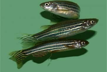 Попадающие в окружающую среду лекарства влияют на поведение рыб