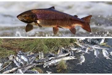 На Аляске из-за аномальной жары гибнет лосось