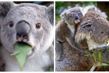 Трансплантация фекальных бактерий поможет спасти коал от исчезновения