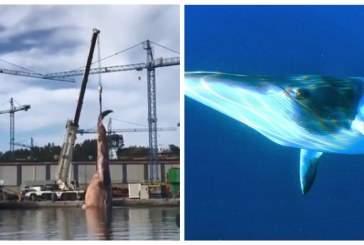 Появилось видео с подъемом 75-тонной туши кита из моря