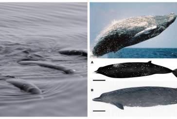 Японские ученые обнаружили новый вид китов