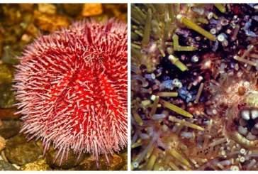 Зубы морских поедателей камней способны самозатачиваться