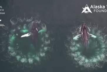Дрон снял на видео охоту горбатых китов с использованием пузырьковых ловушек