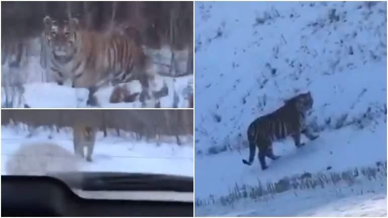 В Хабаровском крае тигр вышел на дорогу к людям