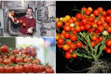 Ученые создали новый сорт помидоров для выращивания в космосе